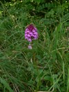 pyramidal orchid (Anacamptis pyramidalis)