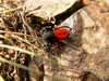The ladybird spider Eresus cinnaberinus