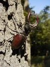 A male stag beetle (Lucanus cervus)