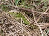 sand lizard (Lacerta agilis)