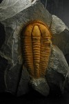 The trilobite Conocoryphe sulzeri