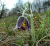 small pasque flower (Pulsatilla pratensis