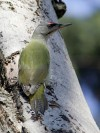 grey woodpecker (Picus canus)