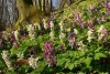 Spring growths of bulbous corydalis near Pavlov