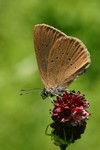 One of the subjects of protection is the dusky large blue (Maculinea nausithous)