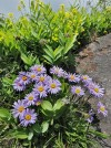 Alpine aster (Aster alpinus) at Bo�e�
