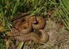 The brown bog form of the adder (Vipera berus) at B�ehyn�