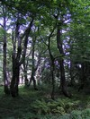 Herb-rich beechwoods in the primeval forest part of the NNR