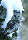 Near-natural forest stands also suit the Tengmalm�s Owl (Aegolius funeseus)