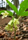 nine-leaved toothwort (Dentaria enneaphyllos)