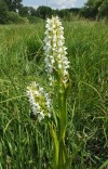 early marsh orchid (Dactylorhiza incarnata) - albino form