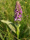 broad-leaved marsh orchid (Dactylorhiza majalis)