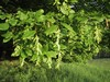 hornbeam (Carpinus betulus)