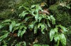 The hart's tongue fern (Phyllitis scolopendrium) is a critically endangered species