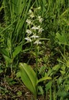 lesser butterfly orchid (Platanthera bifolia)at the  Zahrady pod H�jem NNR