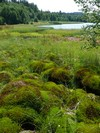 Sedge and bog-moss growths