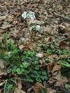 A whole range of rare plant species are bound to the primeval forest ecosystems, including trefoil cress (Cardamine trifolia)