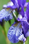 Siberian iris (Iris sibirica) - a wet meadow species