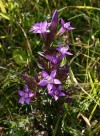 Bohemian polymorphous gentian (Gentianella praecox subsp. bohemica) - an endemic species from the Czech Republic (Bohemian Massif)