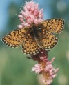 The bog fritillary (Proclossiana eunomia ) - these butterflies only live near peat-bogs