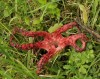 The non-native and invasive Devil's fingers fungus (Clathrus archeri) at Pastvi�t� u F�n�