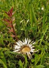 The stemless carline thistle (Carlina acaulis) at Pastvi�t� U F�n�