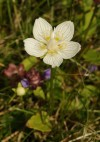 grass of Parnassus (Parnassia palustris)