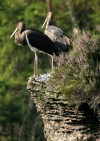 The highly-endangered black stork (Ciconia nigra)