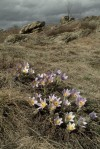 great pasque flower (Pulsatilla grandis)
