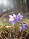 Jaternk podlka (Hepatica nobilis)
