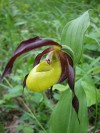 Lady�s slipper (Cypripedium calceolus)