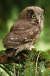 The pygmy owl (Glaucidium passerinum) nests in hollow trees
