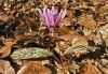 dog's-tooth violet (Erythronium dens-canis L.)