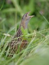 corncrake (Crex crex)