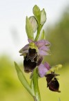 The bee orchid (Ophrys holoserica subsp. holubyana) at Zahrady  pod H�jem