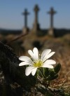 The endemic sandwort-leaved mouse-ear (Cerastium alsinifolium) at the K��ky locality