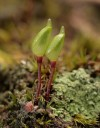 brown shield moss (Buxbaumia aphylla)