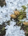 nut moss (Diphyscium foliosum)