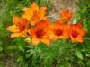 orange lily (Lilium bulbiferum)